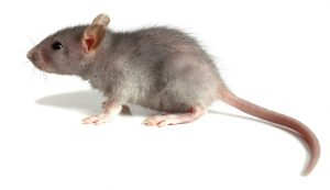 rodent - a mouse